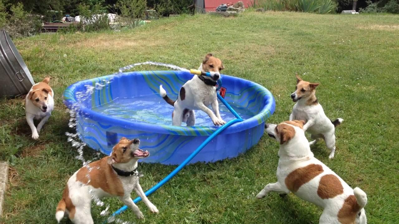 Jack russell terriers play in kiddie pool youtube - Jack russel queue coupee ...