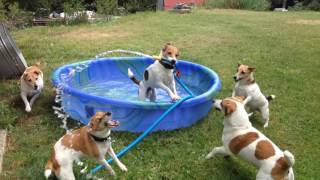 Video Jack Russell Terriers Play in Kiddie Pool download MP3, 3GP, MP4, WEBM, AVI, FLV November 2017