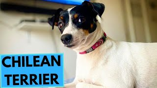 Chilean Terrier Dog Breed - Facts and Information