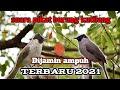 Suara Pikat Burung Kutilang Ampuh Dijamin Langsung Di Datangi  Mp3 - Mp4 Download