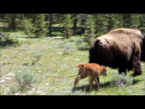 Amazing Yellowstone National Park, Wyoming HD - June 2017