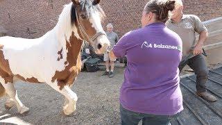 Déménagement hors du commun des chevaux du refuge 4 Balzanes.