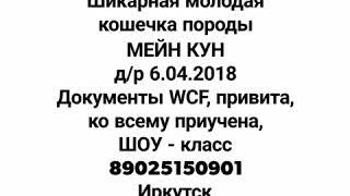 Кошечка МЕЙН КУН продаётся