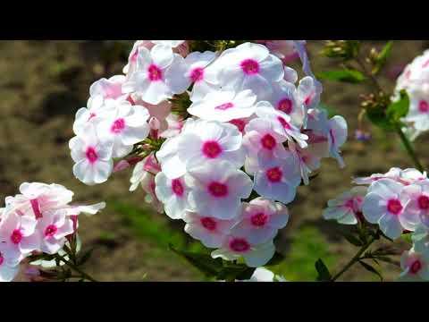 Beautiful Phlox Flowers (HD1080p)