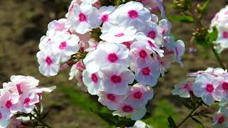 Beautiful Phlox Flowers (HD1080p)