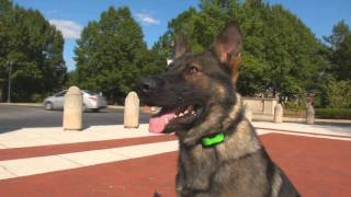 "Best Executive Level Trained K9 ""waylon"" Obedience Protection Family Dog For Sale"