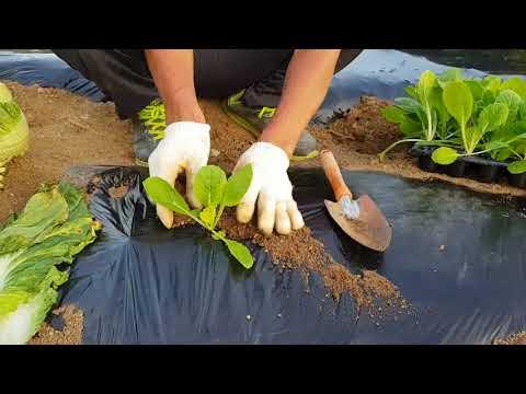농사노하우 가을김장배추농사 밑거름,심는방