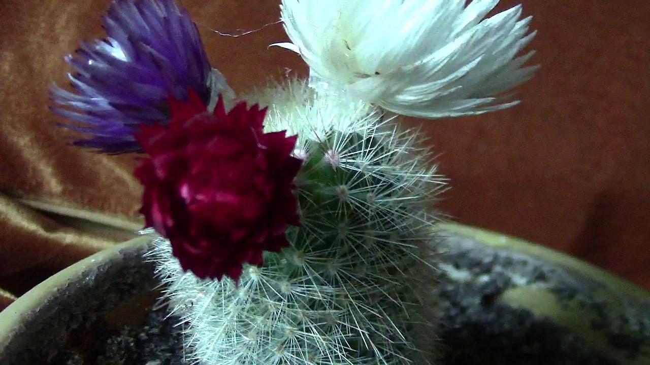 Цветущий кактус.