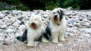 Порода собак. Бобтейл (Старо-английская овчарка). Оригинальная порода