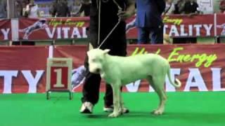 Jakarta Dog Show 2011 - Dogo Argentino Male Pup