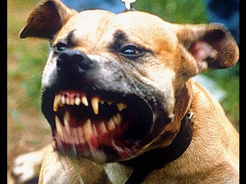 Vicious Pit Bulls Attack and Owner Charged with Murder,   California  Law