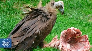 Vultures eating dead animal