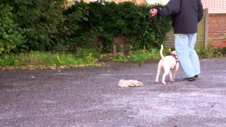 Showing Before And After Training With A Dog Aggressive English Bull Terrier Prt 1