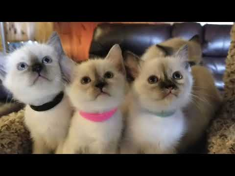 Traditional, Seal, Tortie , Flame and Blue Point Siamese Kittens Dance to Peanuts Theme!