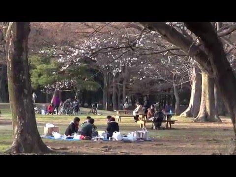 Токио. Первая сакура парка Йойоги в марте.