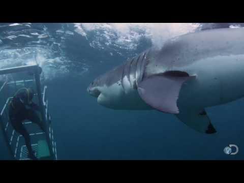 18-Foot Shark Attacks Cage   Great White Serial Killer