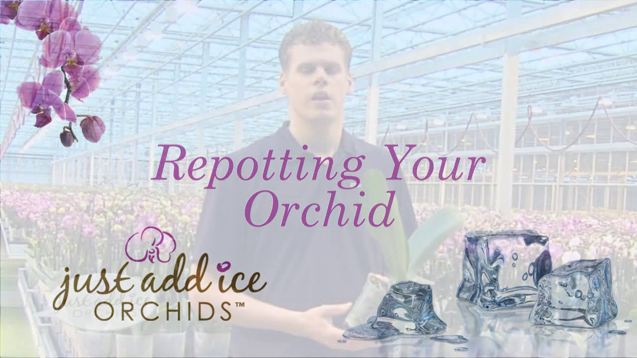 repotting your orchid just add ice orchids youtube. Black Bedroom Furniture Sets. Home Design Ideas