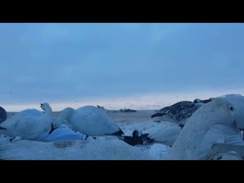 2015 SNOW GOOSE HUNTING WITH PACIFIC WINGS PRAIRIE OUTFITTERS