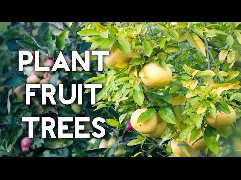 How to plant a lemon tree or any fruit tree