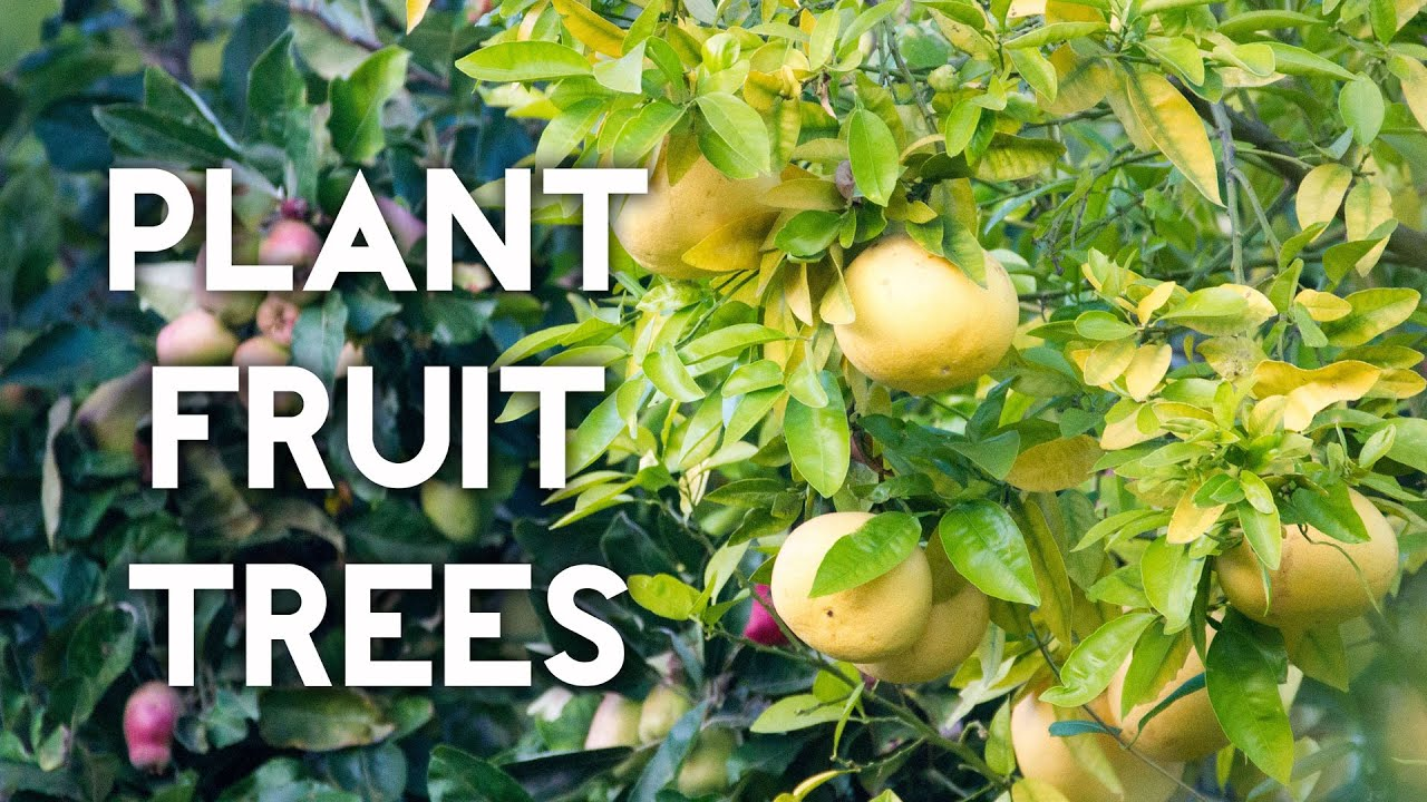 how to plant a lemon tree or any fruit tree youtube