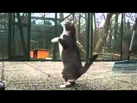 Tổng hợp pha gây cười của những chú mèo tinh nghịch P1
