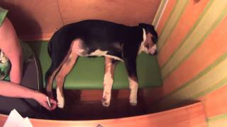 Крепкий сон собаки. (сделайте громкость повыше)