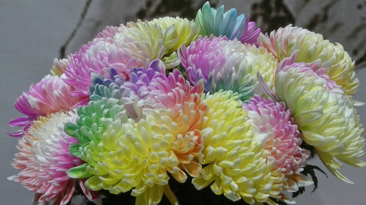 Multi Colored Chrysanthemums On Display At Xians Annual Flower
