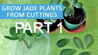 Grow Jade plants from cuttings and leaves - PART 1 | Introducing my jade plants