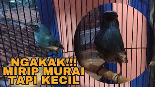 Kicau Merdu Burung Selendang Biru Gacor Untuk Masteran