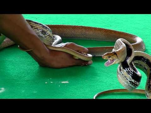 змея ловит человеку