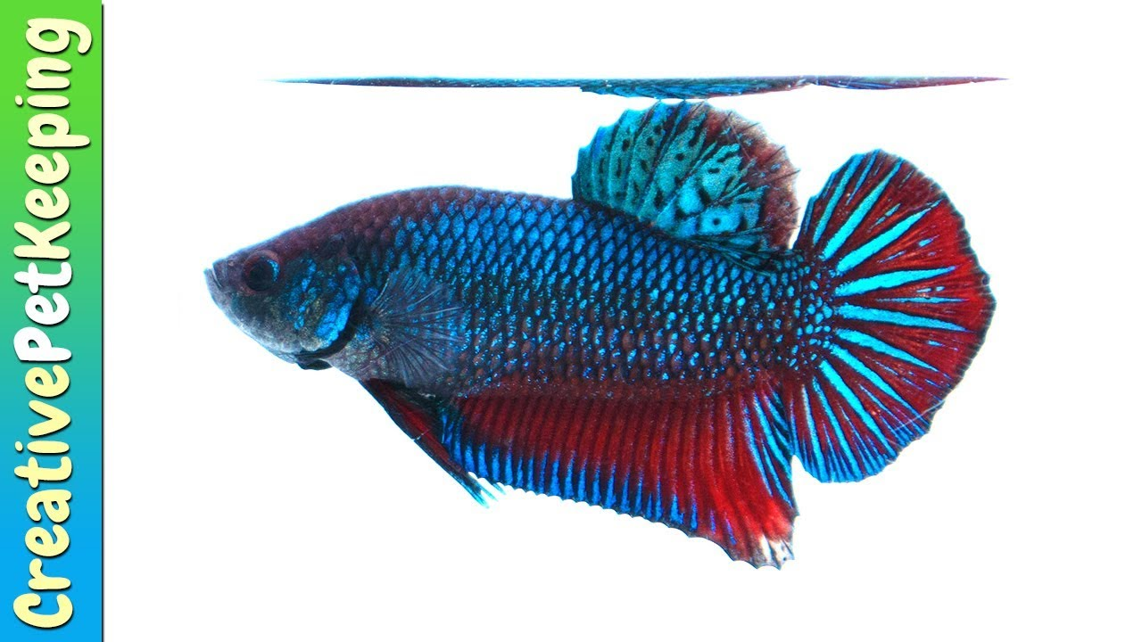 New betta fish for sale online metallic plakat youtube for Fish for sale online