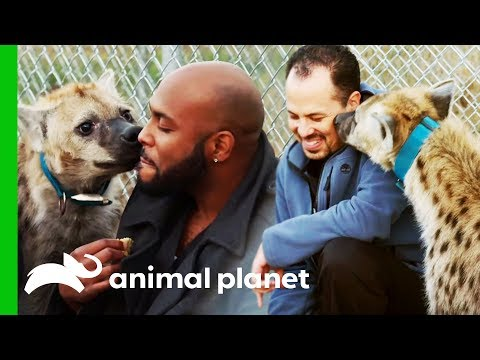 Vets Get Up Close And Personal With A Playful Hyena | The Vet Life