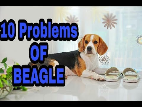10 Problems OF Beagle in Hindi || problems of dogs ||