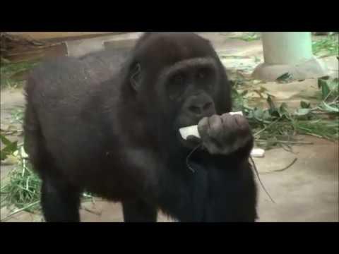 ゴリラのバレンタインデー2018.Gorilla's Valentine's Day@Kyoto City Zoo