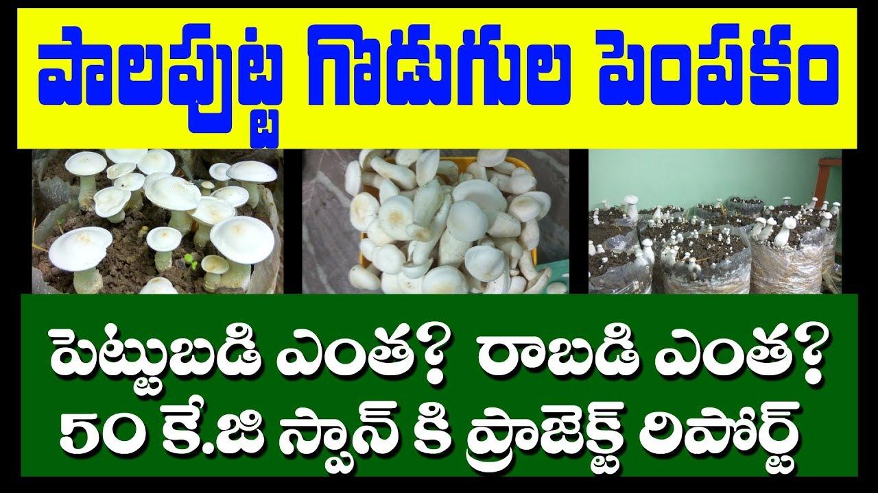 Milky Mushroom Cultivation in telugu | how to cultivate mushrooms in 2019