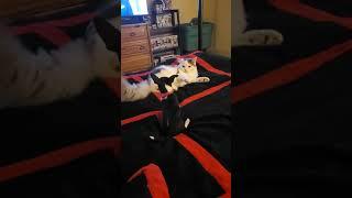 Tiny puppy vs cat