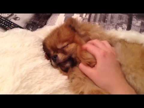Dog demanding petting (angry/happy pomeranian spitz)
