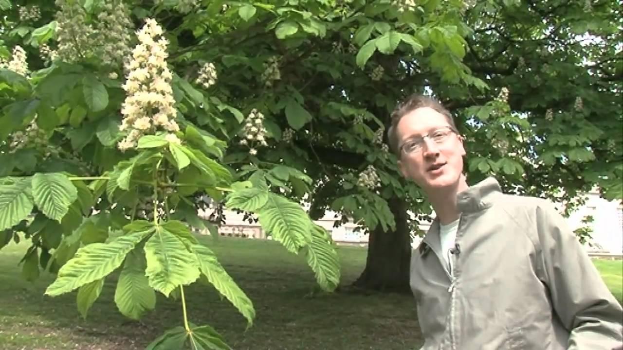 The conker tree horse chestnut youtube for The chestnut