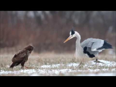 Hungry heron fights buzzard / czapla siwa i myszołów