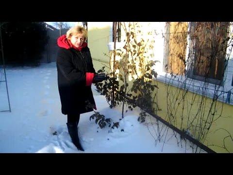 Обзор зимовки роз, клематисов, юкки, глицинии в моем саду.Результат необычного укрытия
