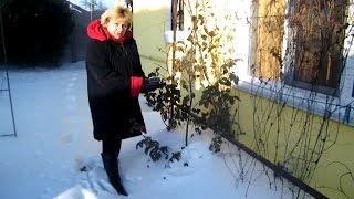 Обзор зимовки роз, клематисов, юкки, глицинии в моем саду.Результат необычного укрытия(Смотрите видео, где я подробно показываю как я укрываю растения сада (розы, клематисы, глицинию...) с помощью..., 2016-02-05T01:00:00.000Z)