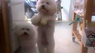 Bichon Frise Dancing To Their Favoite Chinese Song