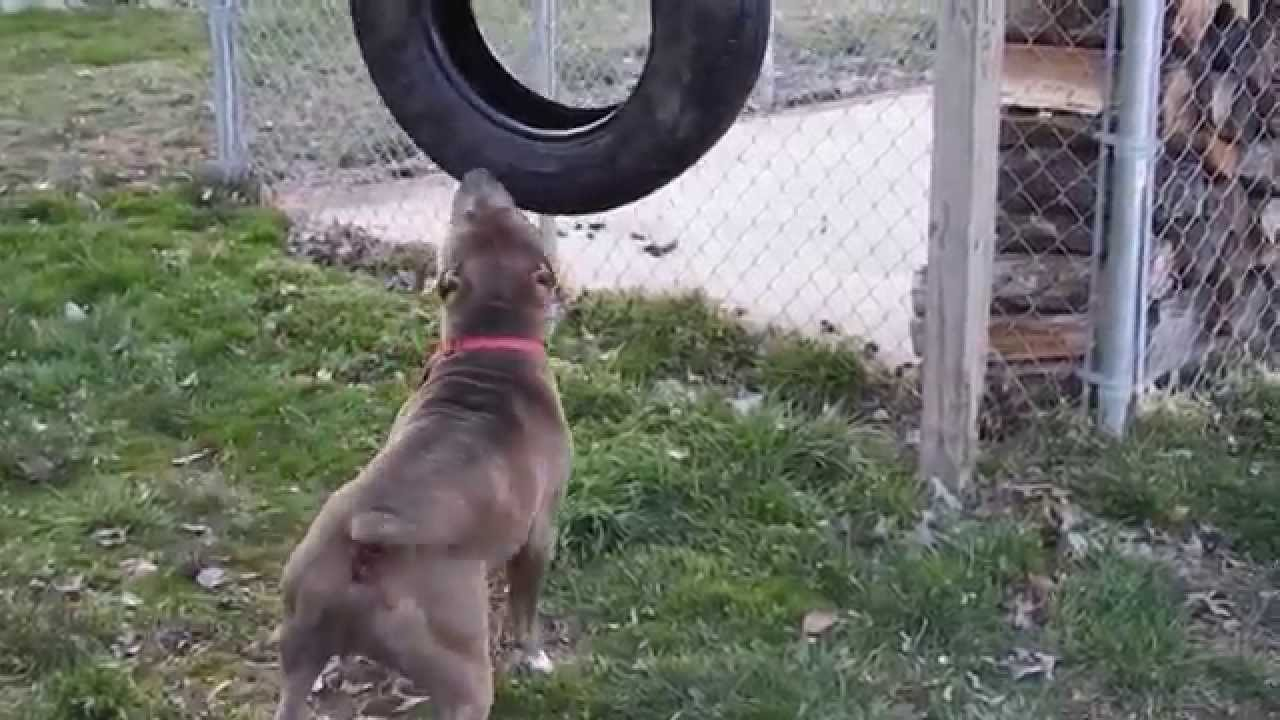 Pitbull playing with tire youtube pitbull playing with tire sciox Images