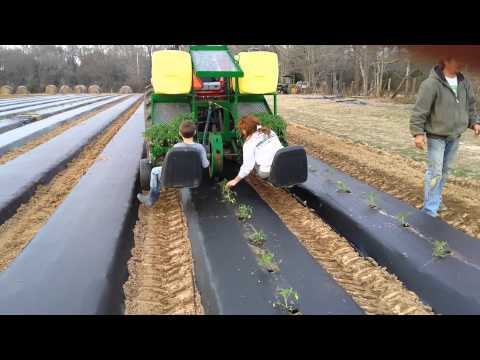 Planting tomatoes  (rain flo transplanter)