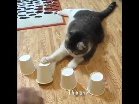 Cat plays cups and balls and wins everytime! 😻👍😸