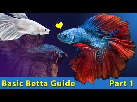 Betta Fish Guide for Beginners : Awwducational