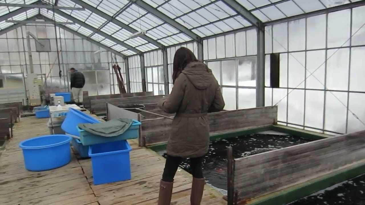 Niigata japan koi fish farm tour breeder hiroi koi farm for Fish farm 3