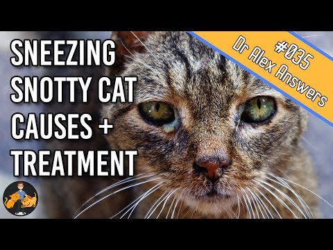 why-is-my-cat-sneezing-with-a-runny,-snotty-nose-and-eyes?-(cat-flu)---cat-health-vet-advice