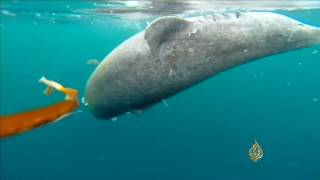 سمك قرش غرينلاند أطول الفقاريات عمرا بالأرض