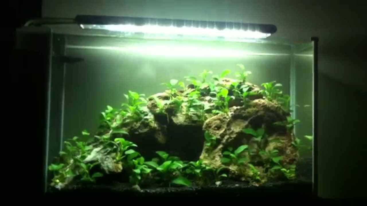 Anubias Nana Petite Only Youtube